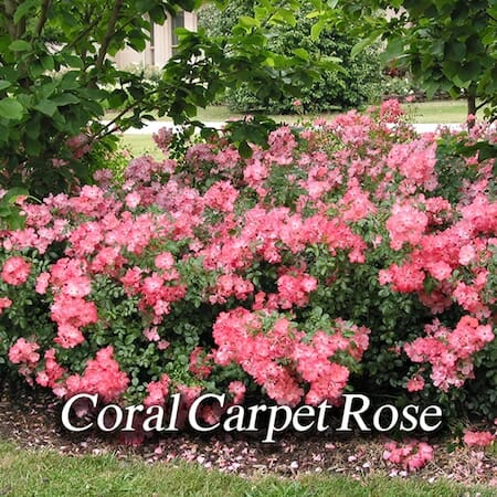coral-carpet-rose