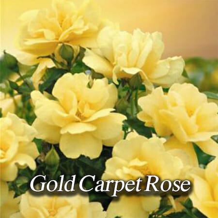gold-carpet-rose