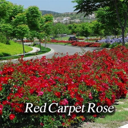 red-carpet-rose