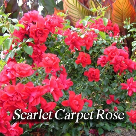 scarlet-carpet-rose