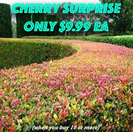 cherry-surprise-bulk-buy