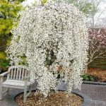 Weeping Cherry Snow
