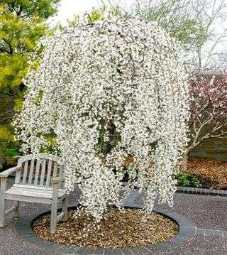 snow-weeping-cherry