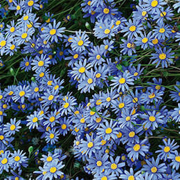 blue-marguerite