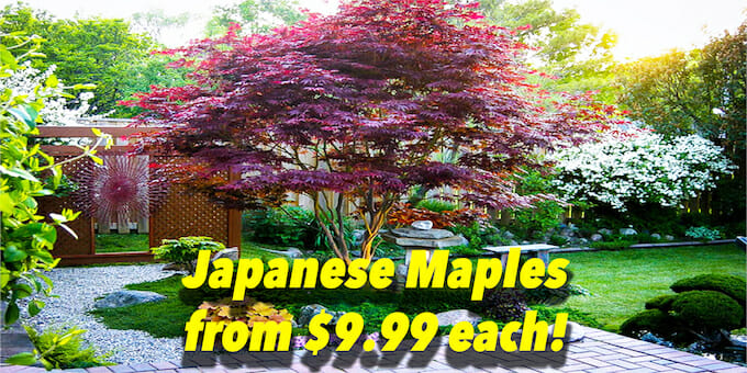 Jap Maples Aus Day Banner 3