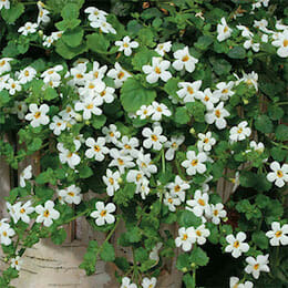 white-bacopa