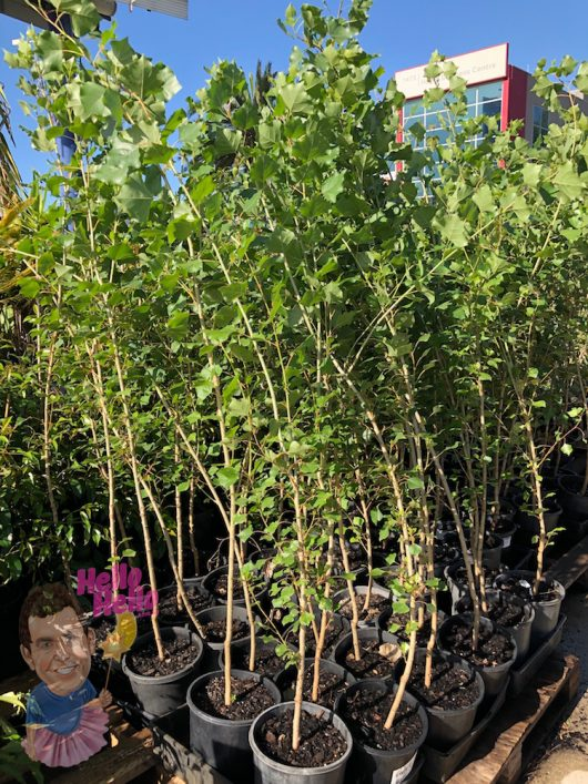 "Lombardy Poplar 8"" Pot *Freshly Potted*"