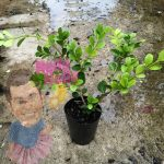 Buxus microphylla japonica japanese box 3inch pot In Store @ Hello Hello Plants