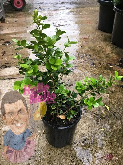 Buxus microphylla japonica japanese box 6inch pot In Store @ Hello Hello Plants