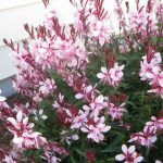 Pink Gaura Butterfly Bush