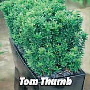 Tom Thumb HALF copy