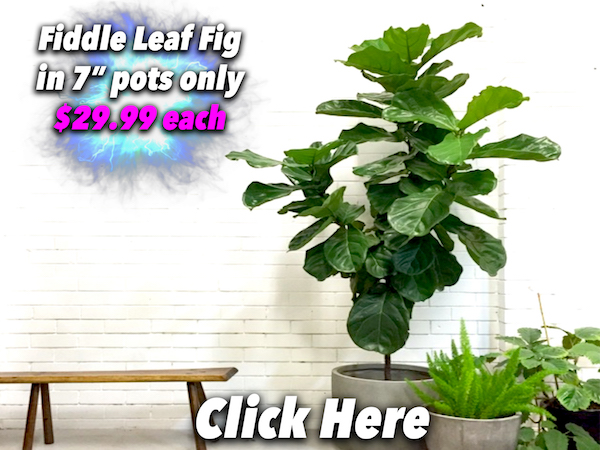 Fiddle Leaf Fig Button Pic 2