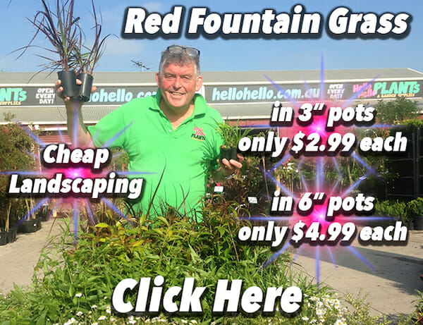 Red Fountain Grass Banner