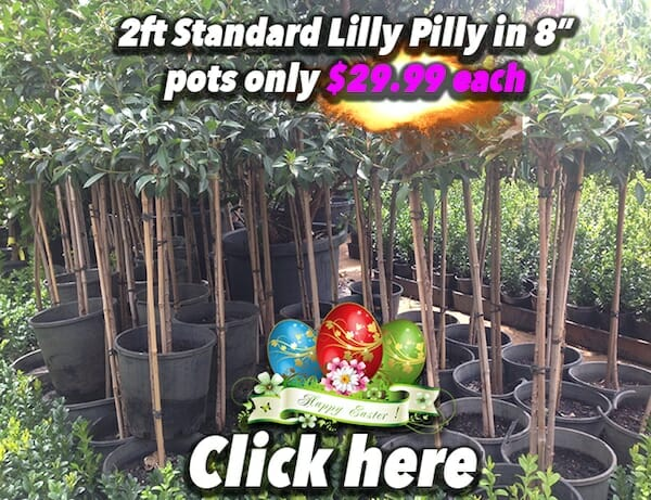 Std Lilly Pilly Button Pic 2