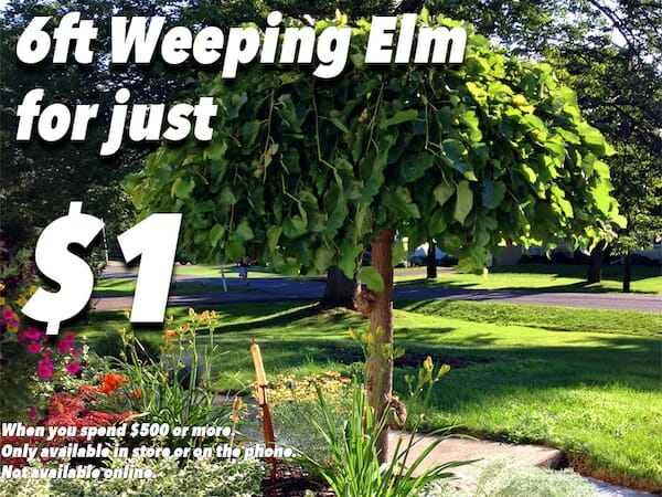 Weeping English Elm $1
