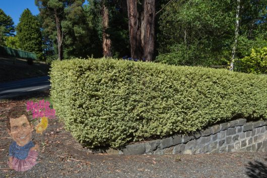 Variegated English Box Hedge