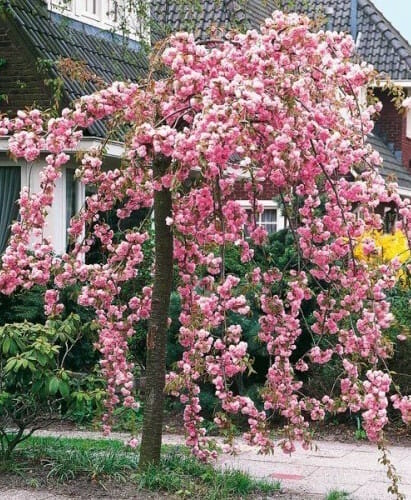 Weeping Cherry Cheals