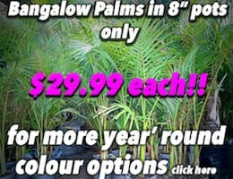 Bangalow Palms Button Pic copy