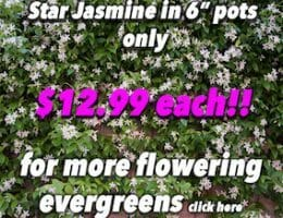 Star Jasmine Button Pic copy