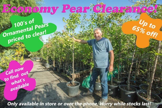 Economy Pear Clearance