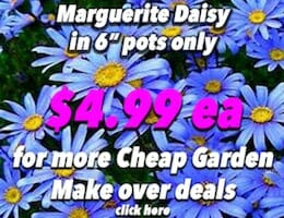 Marguerite Daisy Button Pic Blue copy