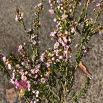 "Thryptomene 'Rock Thryptomene' 6"" Pot @ Hello Hello Plants"
