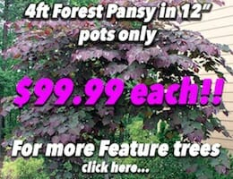 12 potted Forest Pansy Banner copy