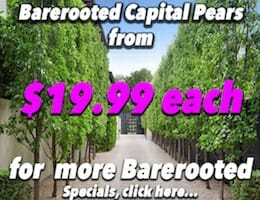 Bare Rooted Capital Pear Banner copy