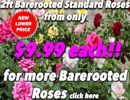 Barerooted Std Roses Button Pic copy