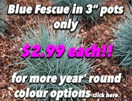 Blue Fescue Button Pic copy