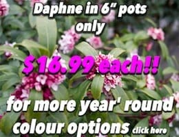 Daphine Button Pic copy