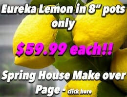 Eureka Lemon Button Pic copy