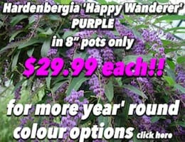 Hardenbergia 'Happy Wanderer' PURPLE Button Pic copy