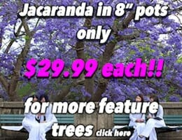Jacaranda Button Pic in 8 pots copy