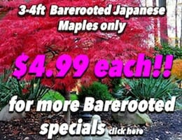 Japanese Maple $4.99 Button Pic copy