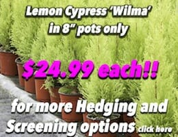 Lemon Cypress 'Wilma' Button Pic copy