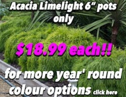 Acacia Limelight Button Pic copy