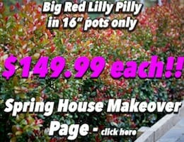 Big Red Lilly Pilly Button Pic copy