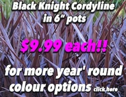 Black Knight Cordyline Button Pic copy