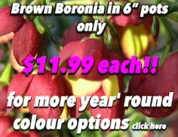 Brown Boronia Button Pic copy
