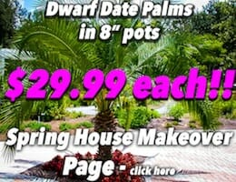 Dwarf Date Palm Button Pic copy