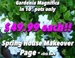 Gardenia Magnifica Button Pic copy