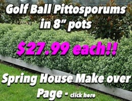 Golf Ball Pittosporums Button Pic copy