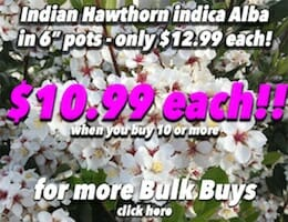 Indian Hawthorn Button Pic copy
