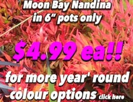 Moon Bay Nandina Button Pic 3 copy