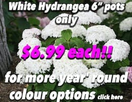 White Hydrangea Button Pic copy