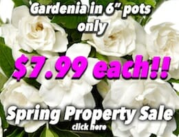 Gardenia Florida Button Pic 7 copy