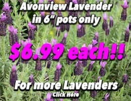 Lavendar Avonview Button Pic 6 copy