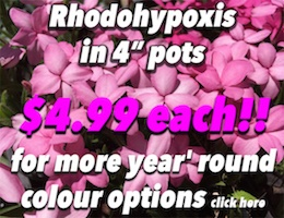 Rhodohypoxis Button Pic copy