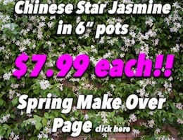 Star Jasmine Button Pic 7.99 copy
